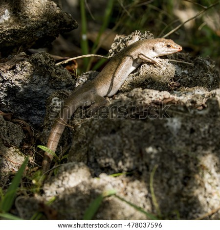 """Vulnerable"" Telfair's skink (Leiolopisma telfairii) basking on a sun-dappled rock in a forest on an island off the coast of Mauritius."