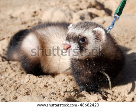 Walk on the beach with ferret. - stock photo