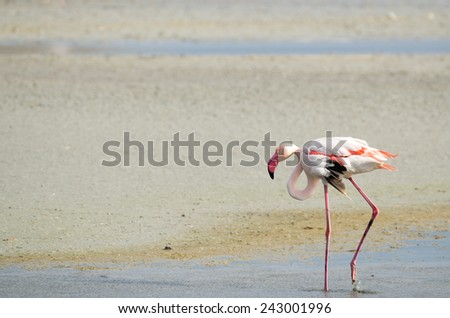 """walking"" flamingo walking alone in the pound of Sardinia Island - stock photo"