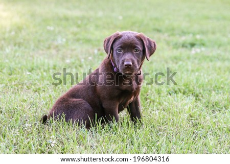 7 Week Old Lab Puppy - stock photo