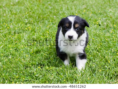 6 week old  tri-colored border collie playing in the grass