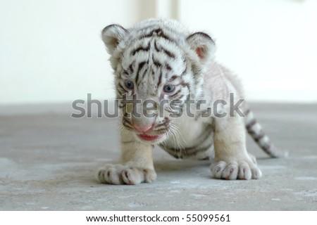 3 week white tiger - stock photo