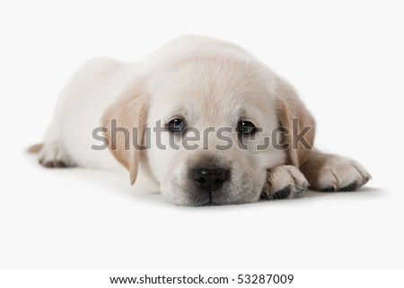 6 weeks old adorable Golden Retriever puppy is a little tired of being a model in the studio. He was returned to his mother and siblings shortly after