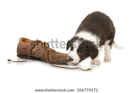 5 weeks old border collie puppy caught while chewing on a shoe - stock photo