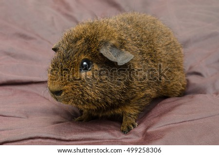 7 weeks old gold agouti rex guinea pig
