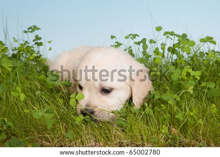 6 weeks old golden retriever puppy lonely in the garden - stock photo