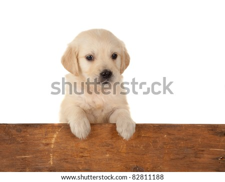 6 weeks old golden retriever puppy over a wooden fence - stock photo