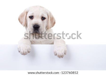 6 weeks old Labrador retriever puppy above banner or sign, isolated on white - stock photo