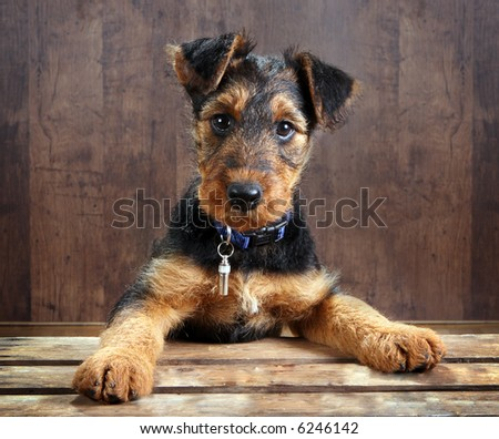 8 weeks old little airedale terrier puppy dog with its paws on a crate - stock photo