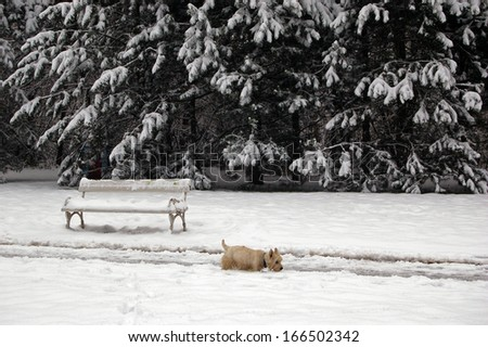 West highland terrier takes a walk in snow covered path in a park  - stock photo