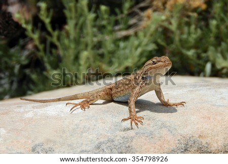 western whiptail   lizard sunning in colorado national monument, colorado        - stock photo