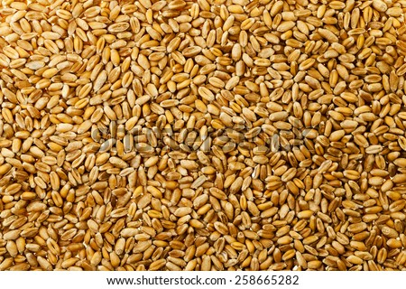 wheat grains photographed by a close up