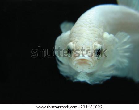white betta fighting fish on a black background - stock photo