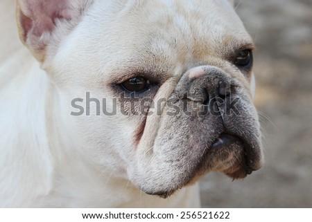 white bulldog  - stock photo
