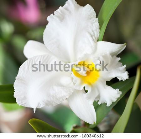 White cattleya orchid hybrid - stock photo