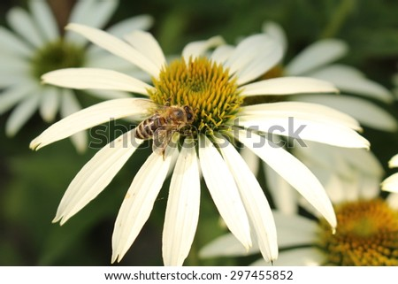 """White Coneflower"" (or White Echinacea) with bee in Innsbruck, Austria. Its scientific name is Echinacea Purpurea White Swan and it is a hybrid flower. (See my other flowers)"