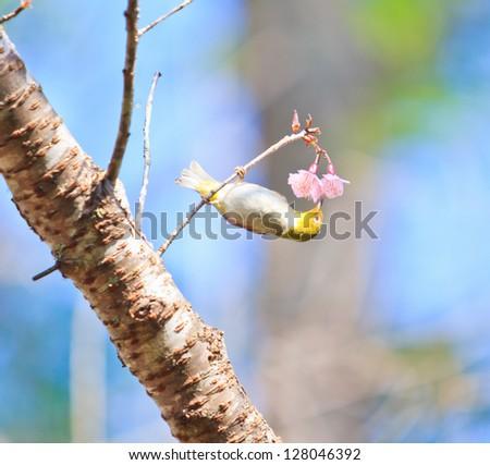 white-eye Bird on Cherry Blossom and sakura - stock photo