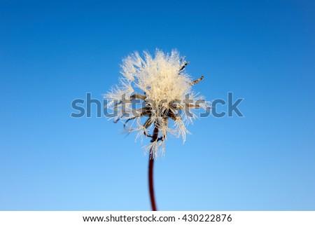 White fluffy dandelion against the blue sky, one                               - stock photo
