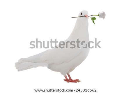white pigeon with a rose on a white background - stock photo