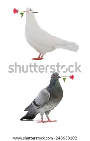 white pigeons with a rose on a white background - stock photo