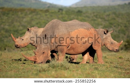 3 white rhinoceros / rhino in this abstract image. - stock photo