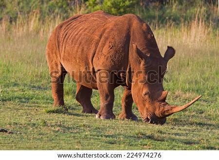 White Rhinocerus; Ceratotherium simum  - stock photo
