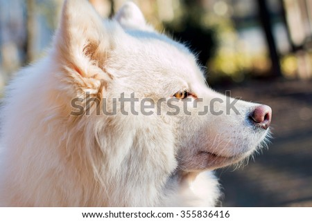 White Samoyed dog close up portrait outdoor