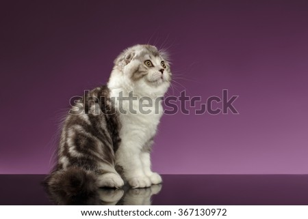 White Tabby Scottish Fold Kitten Sits and Looking up on Purple Background