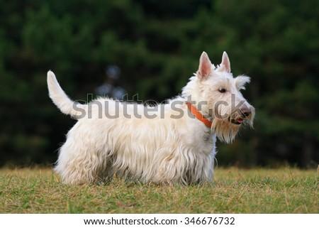 White (wheaten) scottish terrier, cute dog on green grass lawn - stock photo