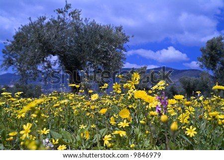 wild flowers in olive grove in the Galilee, Israel - stock photo