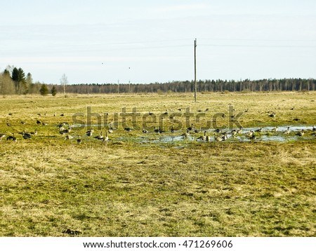 Wild geese gather in the flock for departure to warmer climates,