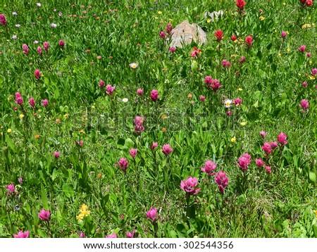 wildflowers in james peak wilderness area,  colorado     - stock photo