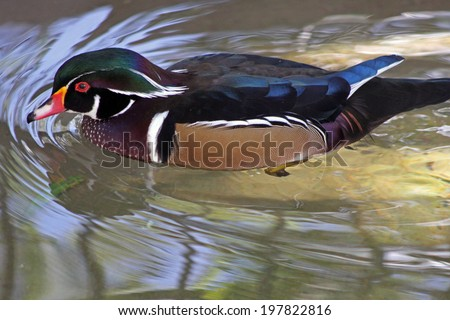 wood duck, Carolina duck (Aix sponsa) - stock photo