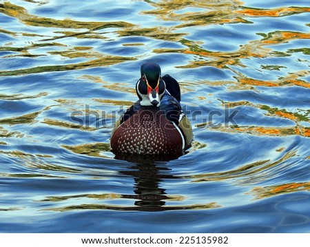 wood duck drake in Sterne park in Littleton, colorado      - stock photo