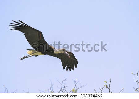WOOLY-NECKED STORK  (Ciconia episcopus) in flight, Kwazulu Natal, South Africa