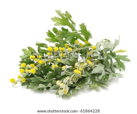 Wormwood Leaves And Flowers - stock photo