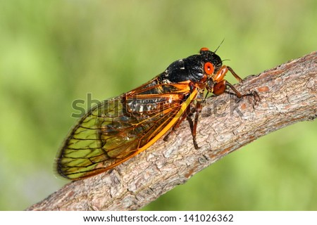17 Year Cicada (Magicicada) perched on a stick with a green background - stock photo