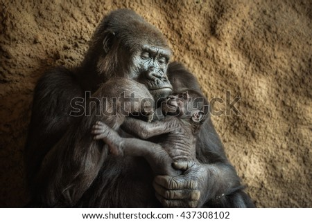 24-year-old Western lowland gorilla and its six-week-old baby. - stock photo