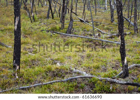 12 years after the forest fire, new growth among charred logs. - stock photo
