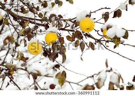 yellow apples on an apple-tree covered with snow - stock photo