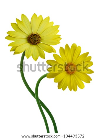 Yellow Colored Calendula Flowers Isolated on White Background. - stock photo