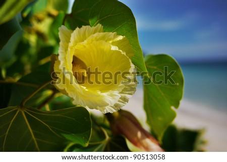 Yellow Hibiscus at the beach - stock photo