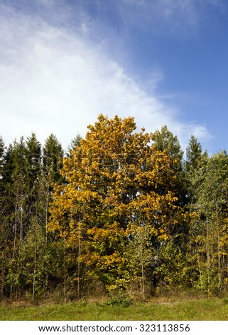 yellow maple leaves, growing, surrounded by pines and birch trees in a small forest. autumn - stock photo