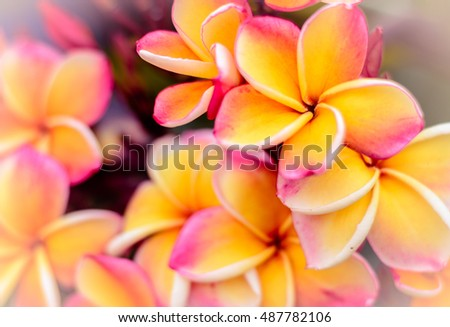 yellow-pink Frangipani with green leaves