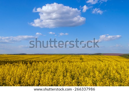 yellow rape field ripe harvest agriculture fuel - stock photo