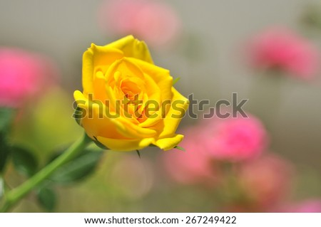 Yellow rose in the garden - stock photo