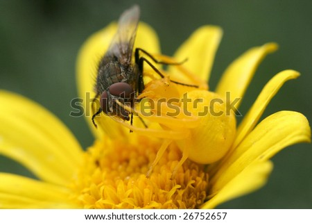 'Yellow spider catching a fly' - stock photo