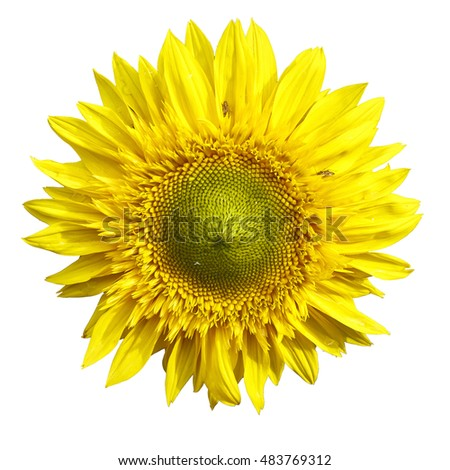 yellow sunflower isolated on white background.  Helianthus annuus.