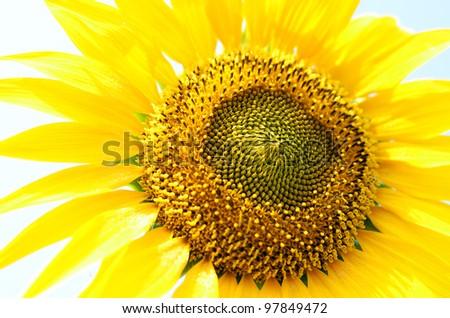 yellow Sunflower petals closeup - stock photo