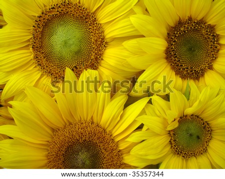 yellow sunflowers macro - stock photo